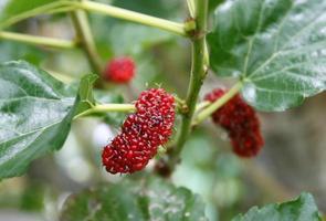 Beerenfrucht in der Natur, Maulbeerzweig