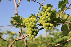 grüne Trauben draußen