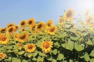 Sonnenblumen in strahlender Sonne