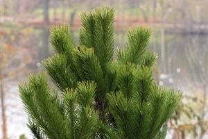 die Spitze eines Tannenbaums mit grünen Nadeln