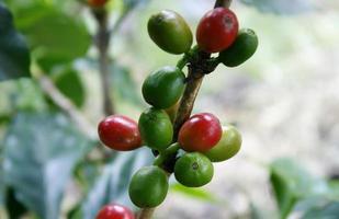 Kaffeebaum mit reifen Beeren auf dem Bauernhof foto