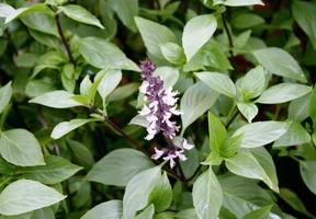 lila Blüten und grüne Blätter foto