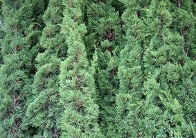 grüne immergrüne Pflanze