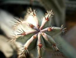 Draufsicht eines Kaktus