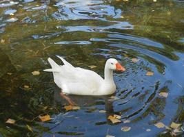 eine weiße Ente im Pfund