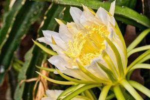 eine weiße und gelbe Pitaya-Blumenpflanze im Freien