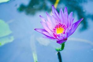der lila Lotus im Teich