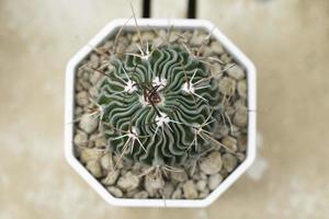 Draufsicht des Kaktus foto
