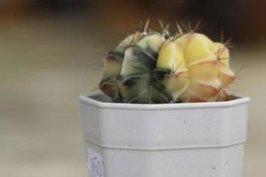 gelber und grüner Kaktus