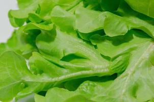 grüner Eichensalat