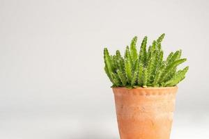Kaktuspflanze auf weißem Hintergrund foto