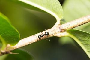 schwarze Ameise auf einem Ast