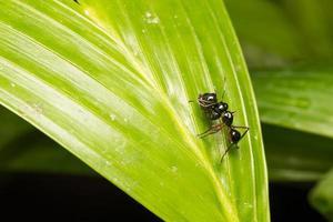 schwarze Ameise auf einem Blatt