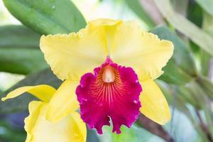 gelbe und lila Orchideenblüte foto