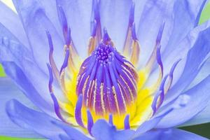 blauer Lotus blüht