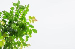 grüne Blätter isoliert foto