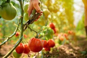 Person, die Tomaten beschneidet foto