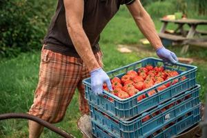 Person, die Kiste mit Tomaten bewegt foto