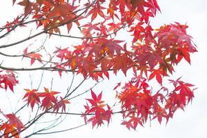 rote Blätter am Baum foto