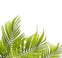 grüne Kokosnussbaumblätter