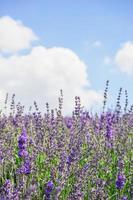 Lavendel unter dem Himmel foto