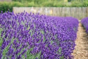 eine Reihe Lavendel