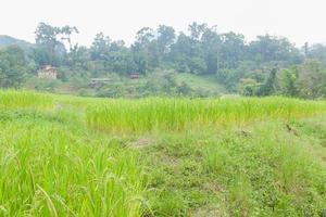 Reisfeld in Thailand