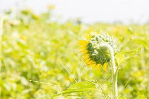 Sonnenblume in voller Blüte