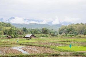 Ackerbau Reis