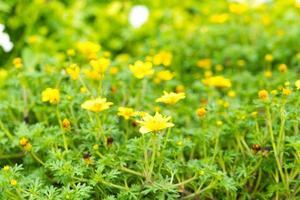 gelbe Gänseblümchen im Garten