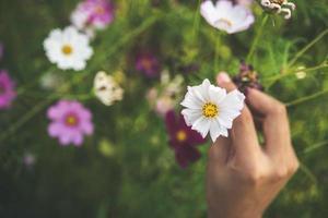 Frauenhand, die Kosmosblumen in einem Feld berührt