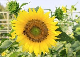 Sonnenblume mit Biene foto