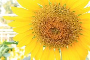 Sonnenblumen-Nahaufnahme außerhalb foto