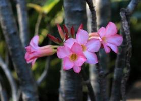 rosa Azaleenblumen im Garten