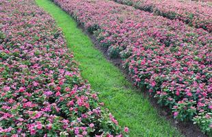 Feld der rosa Blumen