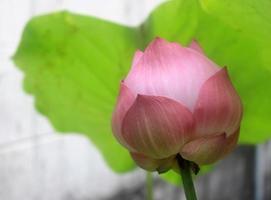 rosa Lotusblütenknospe