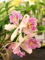rosa und weiße Orchideen foto