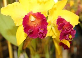 gelbe und rote Orchideen
