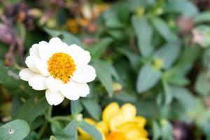 Gänseblümchenblume blüht