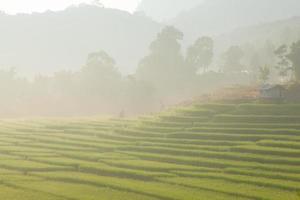 Reisfeld auf dem Hügel