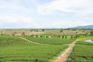 Teefarm in Thailand