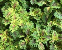 tropische Blätter mit violetten Flecken