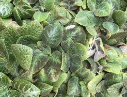 flockige grüne Blätter