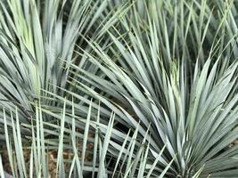 scharfe Blätter einer Palme