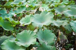 grüne Lotusblätter