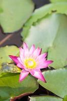 Lotusblüte im Teich