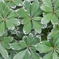 grüne Blätter mit weißen Streifen foto