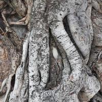 Wurzel des Baumes foto