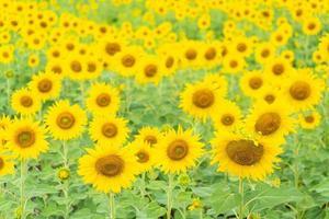 Sonnenblume in Thailand abgelegt