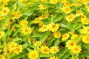 gelbe Gänseblümchenblumen im Park